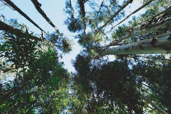 Melissa Wasi: Bosque de Eucaliptos