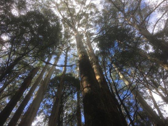 Otway Fly Treetop Adventures: Treetops