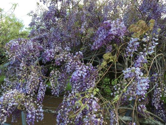 Parque Cornwall: wisteria