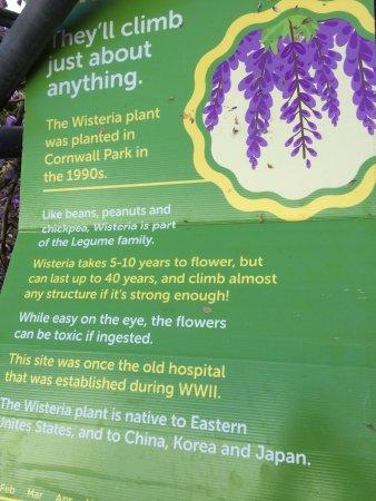 Parque Cornwall: wisteria details