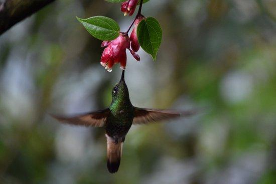 Tandayapa, Ekwador: Humming Bird feeding