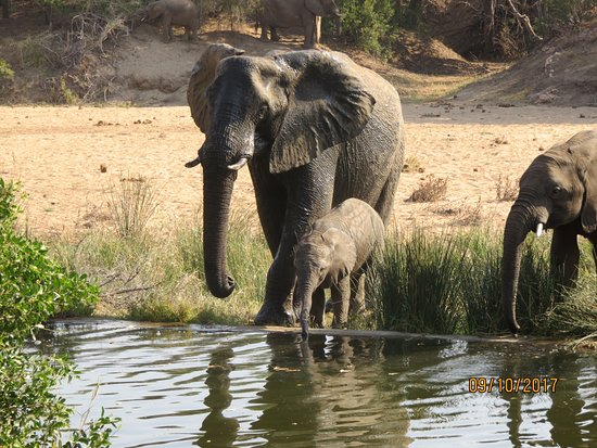 Simbavati River Lodge: Elephants and other animals often drink at the pool near the deck