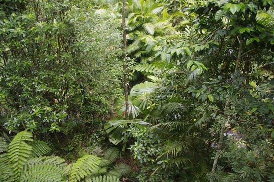 Cow Bay, Australia: Dense tropical forest