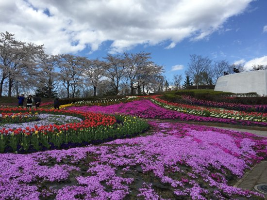 Kawasaki-machi, Japan: シバ桜のシーズン