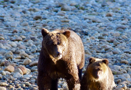 Port Hardy, Καναδάς: Mother and cub watching us watching them.