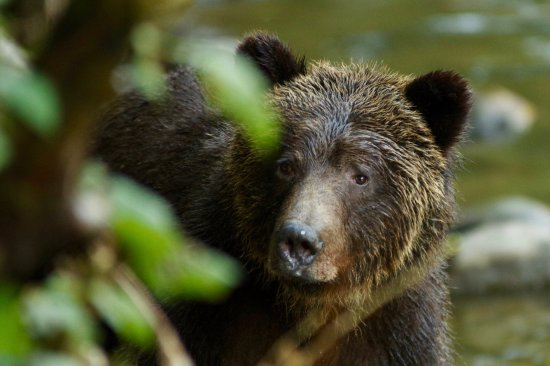 Port Hardy, Καναδάς: Grizzly close encounter.