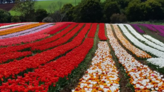 Wynyard, Australia: from the roadside. You dont have to pay to get to the Tulip Farm