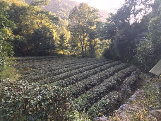 Xingning, China: working tea fields