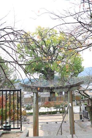 Izumiyama Large Ginkgo Tree