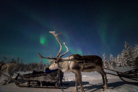 Salla, Finlandia: Night time Reindeer safari with Northern Lights