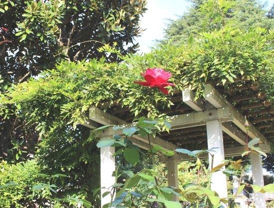 Suginami, Japan: 昭和のお屋敷によくあったバラと藤棚