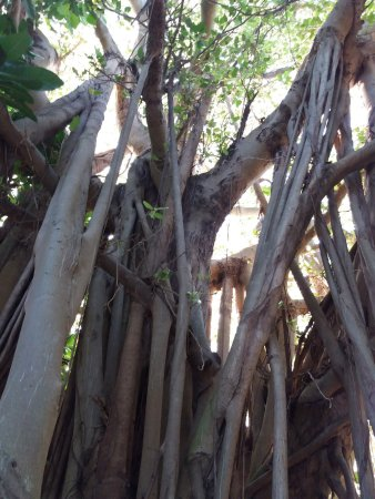 """Biyadhoo Island Resort: appena fuori dalla camera....ti trovi questa """"cattedrale""""di rami,natura spettacolare."""