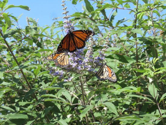 Avondale by the Sea: an awesome butterfly bush on edge of property.