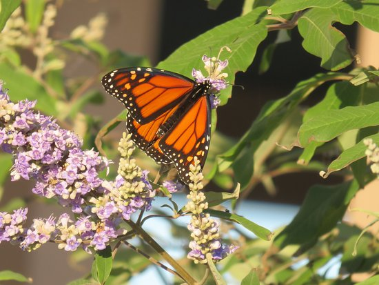 Avondale by the Sea: butterfly bush, great for migrating monarchs.