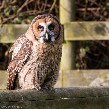 Knutsford, UK: Great Grey/Malaysian Wood Owl Hybrid