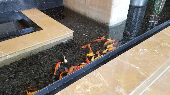 InterContinental Century City Hotel Chengdu : Koi in the lobby