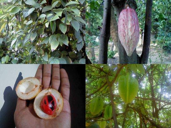 New Ranweli Spice Garden: fruits in the spice garden