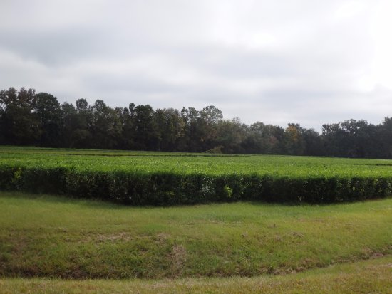 Wadmalaw Island, SC: Beautiful uncut tea field