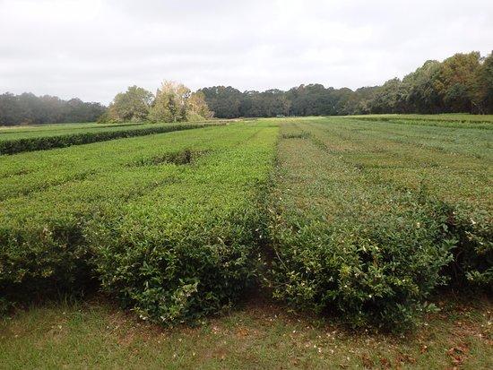 Wadmalaw Island, SC: Cut vrs uncut tea bushes