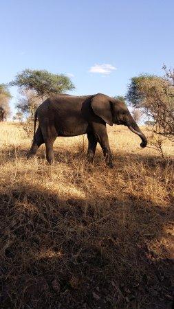 Tarangire National Park, Tanzania: Elefant