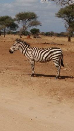 Tarangire National Park, Tanzanie : Zebra