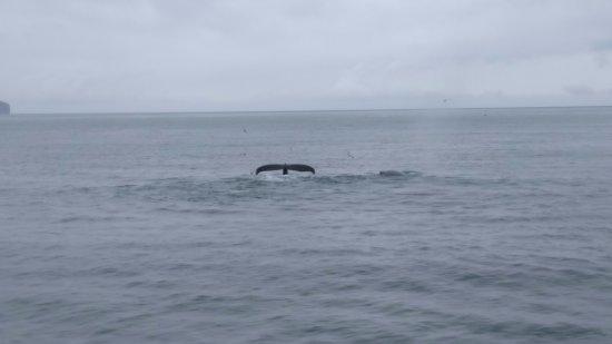 Dalvik, Iceland: Baleines