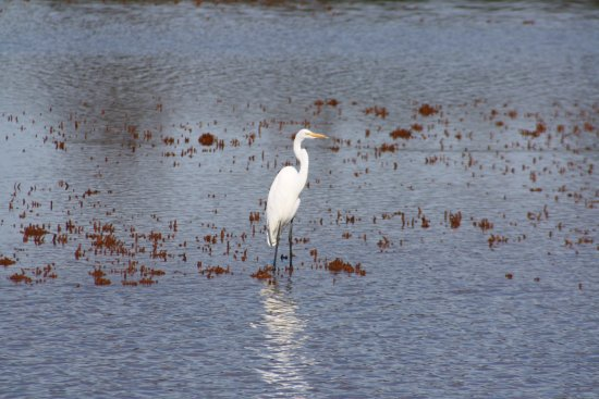 Tom Yawkey Wildlife Center: Egret
