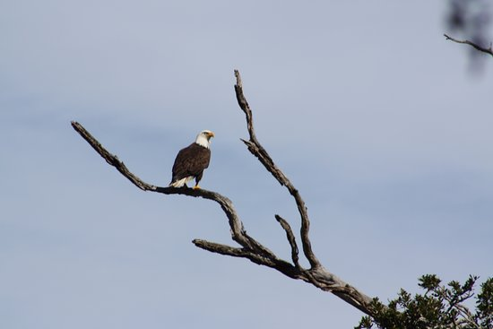 Tom Yawkey Wildlife Center: Bald Eagle