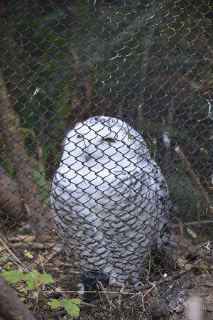 Woodland Park Zoo: snowy owl