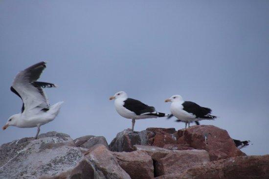 Dingwall, Canada: Seagulls
