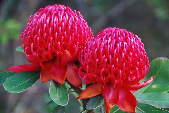 Blackheath, Australia: There are also waratahs growing at these gardens