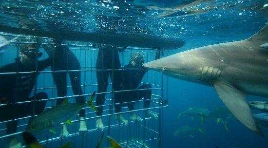 Shark Cage Diving KZN: photo0.jpg