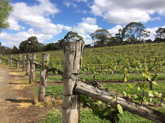 vines picture of gisborne peak winery gisborne. Black Bedroom Furniture Sets. Home Design Ideas