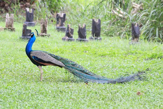 Thirappane, Sri Lanka: there were peacocks all over the hotel