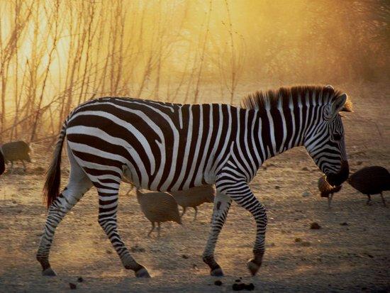Bush 2 Beach Safaris: Zebra crossing
