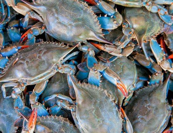 Lantana, فلوريدا: Chesapeake Bay Blue Crabs - live
