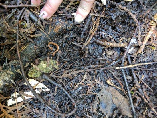 Rockwood Conservation Area: salamander we found