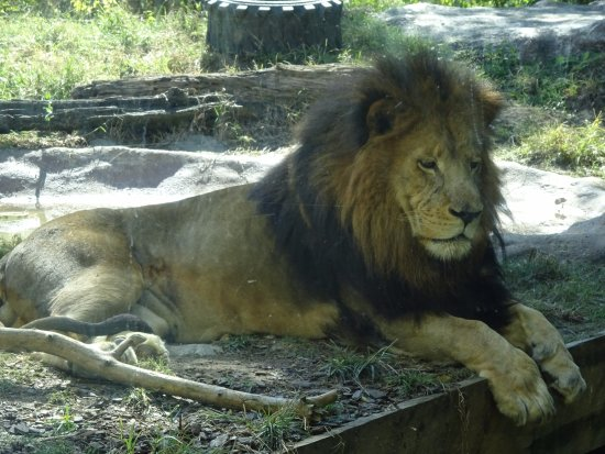 Birmingham Zoo: Seeing the lions up close was very cool