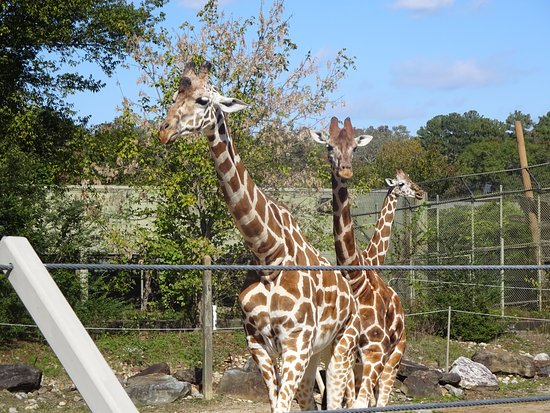 Birmingham Zoo: The giraffes were very active. walking around.