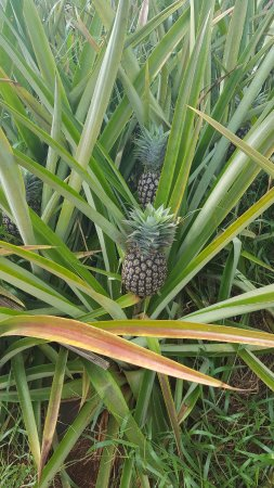 Sugarloaf Pineapple Farm