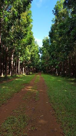 Kilauea, Гавайи: Miles and miles of mahogany trees