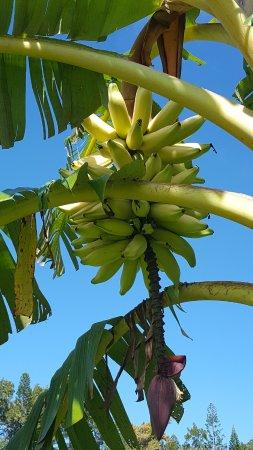 Kilauea, HI: Bananas growing near the trail