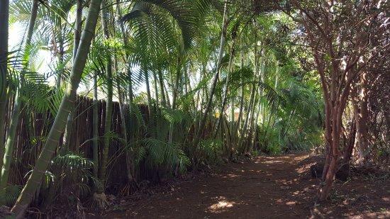 Kilauea, HI: Bamboo growing near the trail