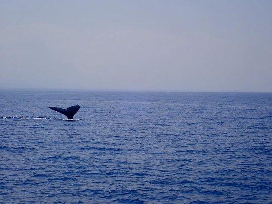 Kawaihae, HI: Whale