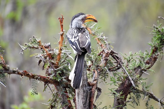Mala Mala Private Game Reserve, South Africa: African hornbill (Zazu from Lion King)