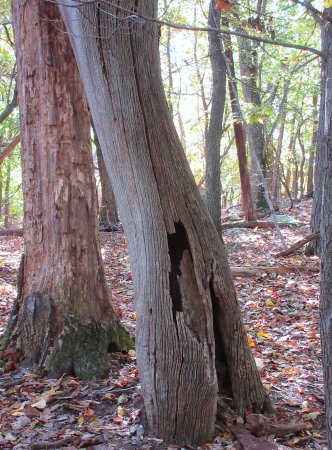 Dickerson, MD: Old tree off the White Trail