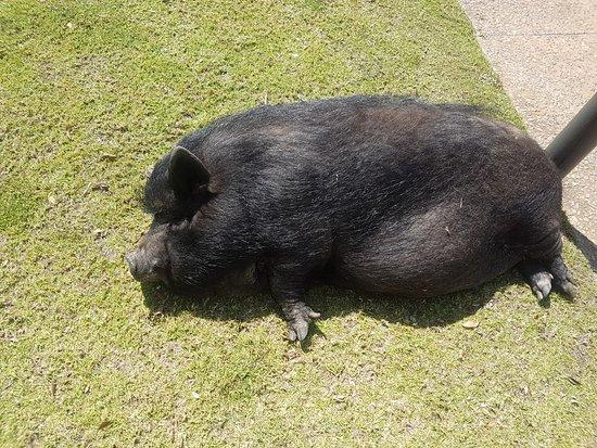Constantia, South Africa: Preggie Pig