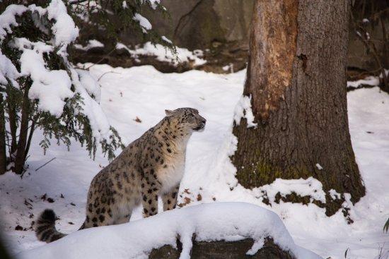 Providence, RI: Snow Leopard at Roger Williams Park Zoo