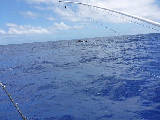 Tongan Beach Resort : Humpback and Calf not far out