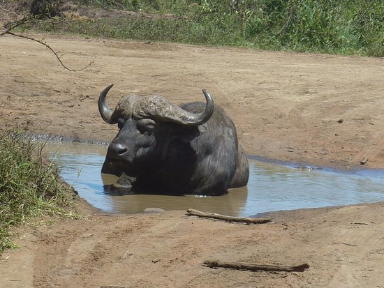 Zululand, Sudáfrica: A wallowing buffalo